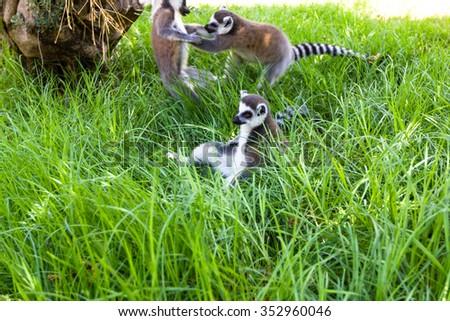 Lemurs games, Ring-tailed Lemur (Lemur catta) - stock photo