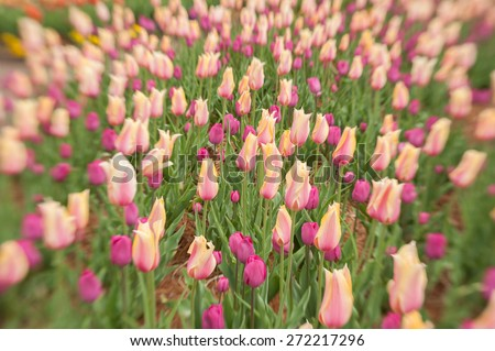 Lensbaby, a selective focus lens was used to capture this image of flowering tulips at a park in the mountains of North Carolina. - stock photo
