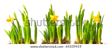 lent lily (daffodil) isolated on white - stock photo