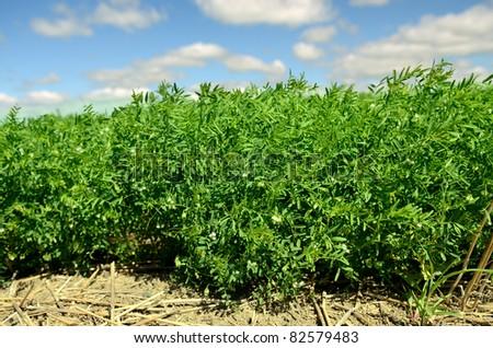 Lentil crop in Saskatchewan farm field - stock photo