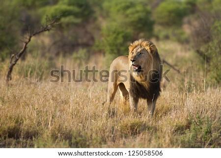 Lenyalo male lion on Madikwe game reserve - stock photo