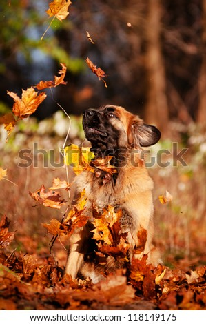 leonberger dog catching fallen leaves