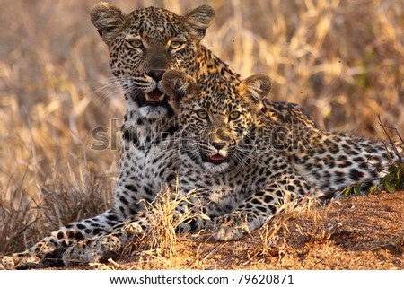 Leopard and cub - stock photo