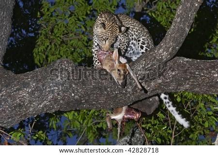 Leopard and Kill - stock photo