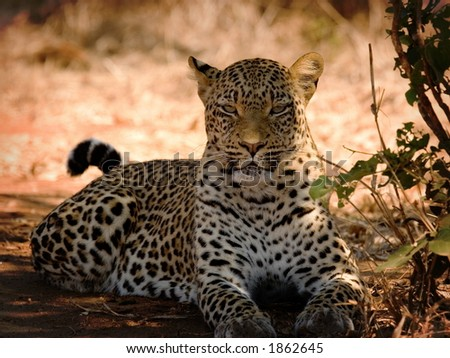 Leopard basking in the sun - stock photo
