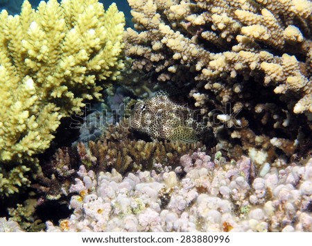 Leopard blenny shying away under acropora coral - stock photo