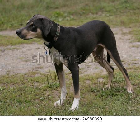 Leopard Breed Agility Dog - stock photo
