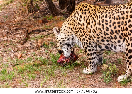 Leopard carries away a piece of meat at the Naankuse Wildlife Sanctuary, Namibia, Africa - stock photo