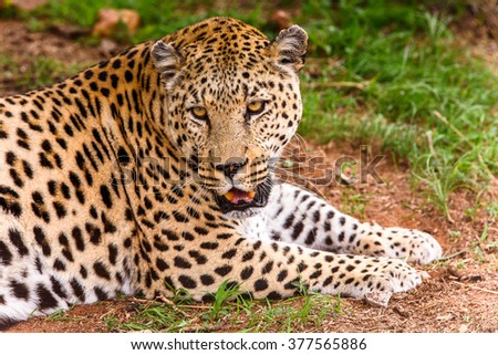 Leopard close up at the Naankuse Wildlife Sanctuary, Namibia, Africa