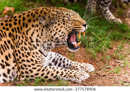 Leopard close up at the Naankuse Wildlife Sanctuary, Namibia, Africa - stock photo