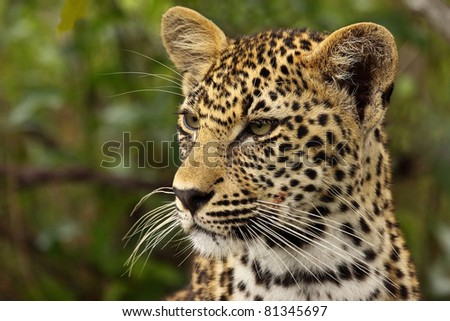 Leopard cub close up portrait