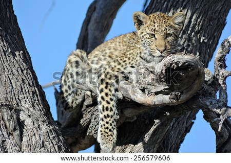 Leopard cub resting  in tree  - stock photo