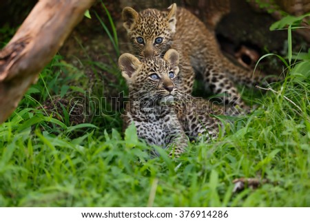 Leopard cubs in the grass close to their hole in Masai Mara, Kenya. Mother: Leopard Bahati - stock photo