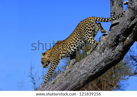 Leopard descending a tree in the Kruger National Park. South Africa