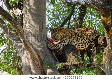 Leopard eating antelope, Moremi game reserve, Botswana - stock photo