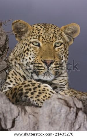 leopard eyes - stock photo