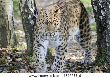 Leopard Family Young Leopards Big Cats - stock photo
