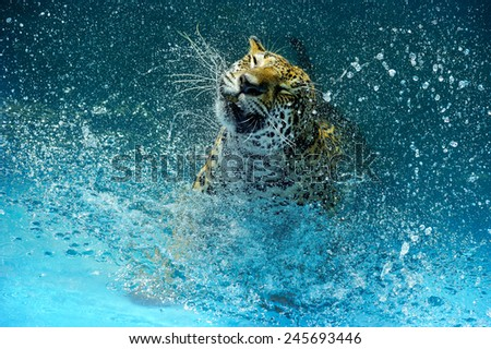 Leopard flicking water. - stock photo
