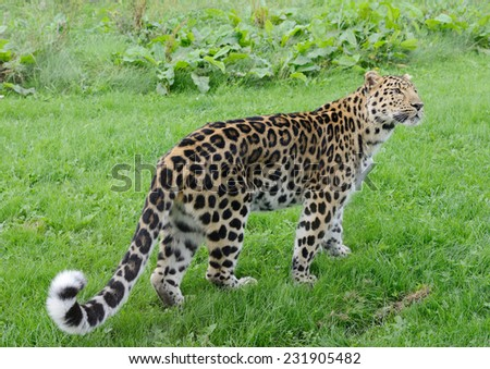 Leopard full length looking alert and powerful - stock photo