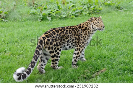 Leopard full length looking for prey with spots and fur - stock photo