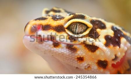 Leopard gecko Eublepharis macularius in the Zoo - stock photo