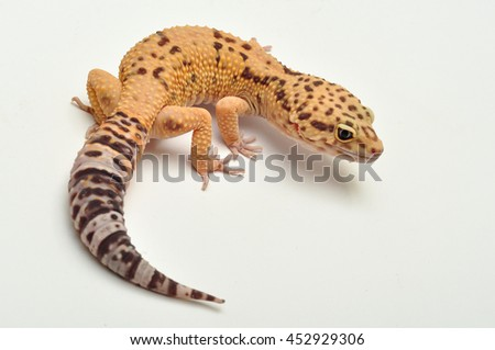 Leopard gecko lizard, close up macro.  - stock photo