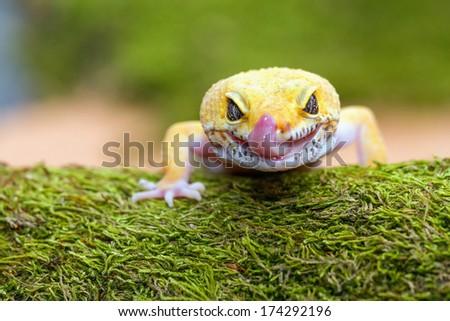 leopard gecko pokes tongue, to moisten your eyes - stock photo