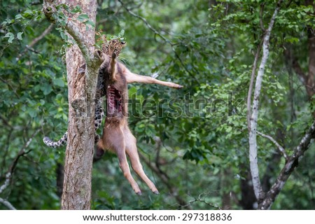 Leopard getting down a tree with kill - stock photo