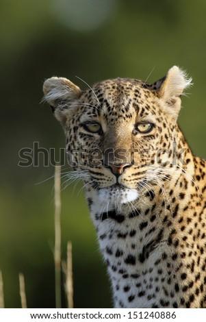 Leopard  glance - stock photo