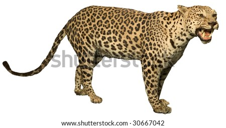 leopard growling showing teeth isolated on white - stock photo