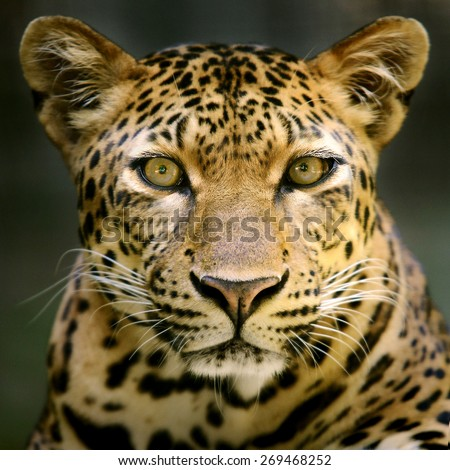 Leopard head and face looking to camera - stock photo