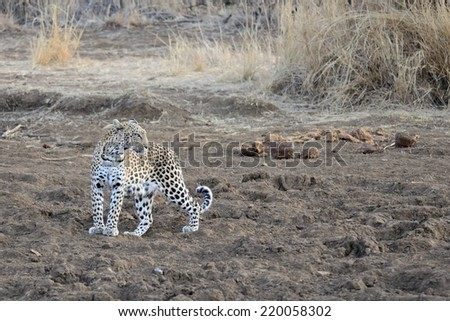 Leopard illuminated by day's last sunlight as it stands on dry mud of waterhole in typical feline stance and looks into distance. - stock photo