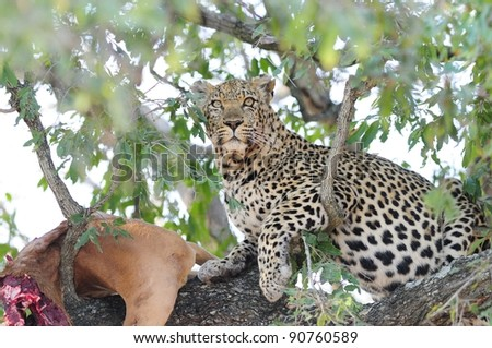 Leopard in a Tree. Seen in The Kruger National Park, South Africa. - stock photo
