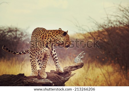 Leopard in African bush - stock photo