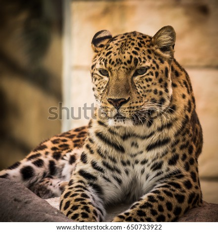 Leopard in Emirates Park Zoo. Abu Dhabi - UAE. 19 March 2016.
