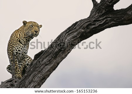Leopard in Lead Wood Tree - stock photo
