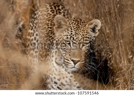 leopard in  long grass - stock photo