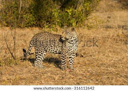 Leopard in morning sun finishing pieces of an impala it killed in Sabi Sands Nature Reserve in greater Kruger National Park, South Africa