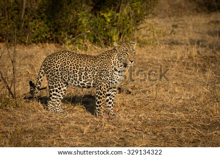 Leopard in morning sun finishing pieces of an impala it killed in Sabi Sands Nature Reserve in greater Kruger National Park, South Africa - stock photo