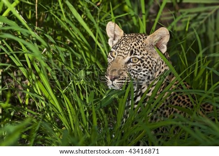 Leopard in the grass - stock photo
