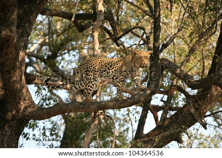 Leopard in The Okavango Delta - stock photo