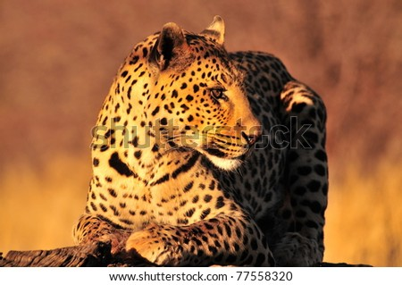 leopard in the sunset - stock photo