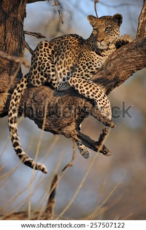 Leopard in tree. - stock photo