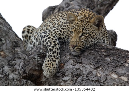 Leopard in tree against white background. - stock photo