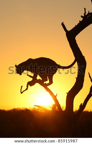 Leopard in tree at sunrise - stock photo