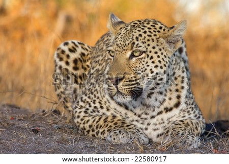 leopard in winter colours - stock photo