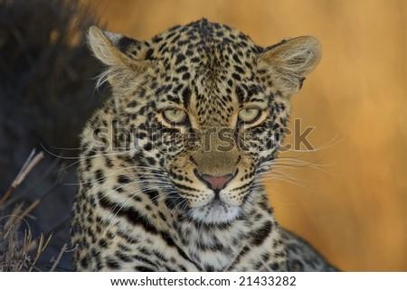 leopard intensity - stock photo