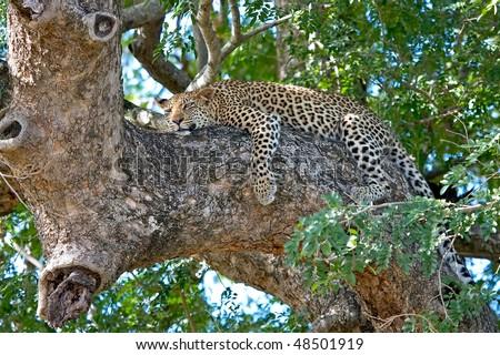 Leopard Kruger National Park - stock photo
