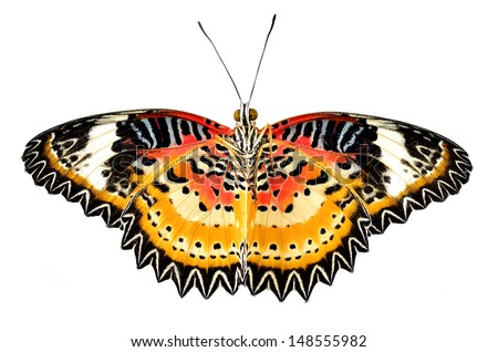 Leopard Lacewing breast and underneath part profile beautiful butterfly on white background  - stock photo
