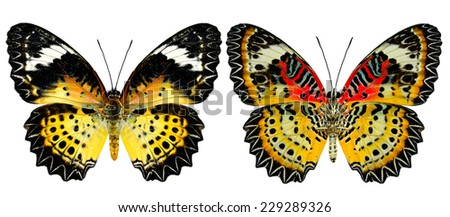Leopard Lacewing Butterfly (female) both of upper and lower wing profile in natural color isolated on white background - stock photo